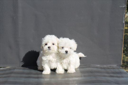 Maltezer štenci više legala veliki izbor
