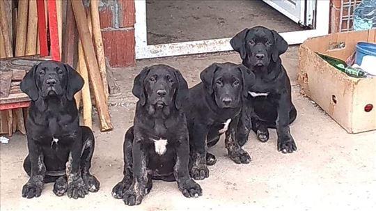Srpski odbrambeni pas, štene
