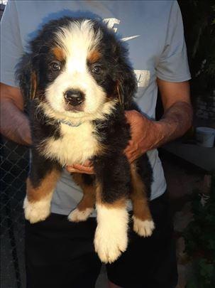 Bernski pastirski pas, štene
