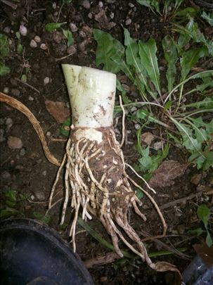 Lukovice i visegodišnje sadnice Kala