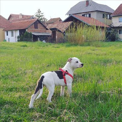Američki stafordski terijer štene
