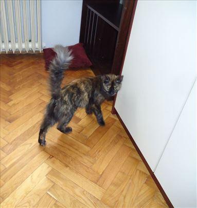 Milijana, domaća mlada mačka