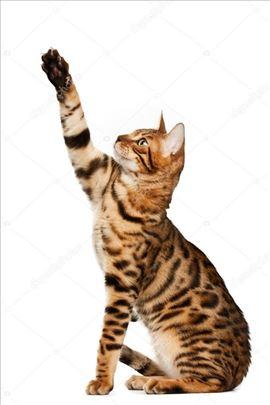 Tražim bengalskog mačka za parenje