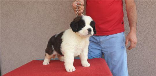 Bernardinac, štene
