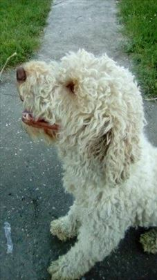 Lagoto romanjolo, odrastao pas za parenje