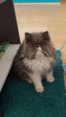 Persijska, odrasla mačka