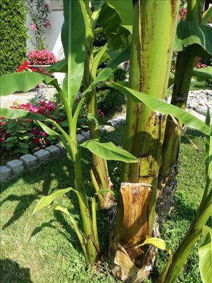 sadnice banana