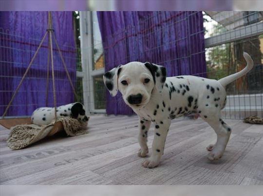 VDH pedigre dalmatinski pas , štene