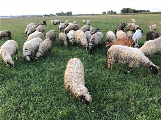 Prodajem ovce i jaganjce