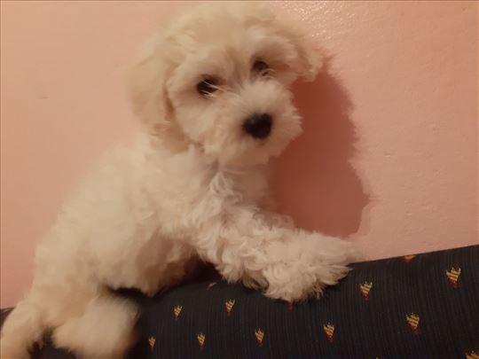 Maltezer,žensko štene