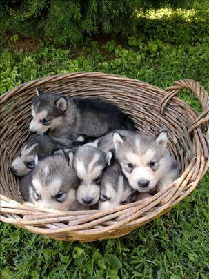 Aljaski malamut, štene- mužijak
