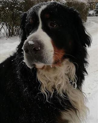 Bernski planinski pas, za parenje