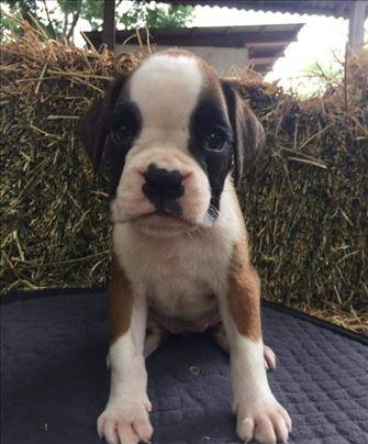 Nemački bokser, štene