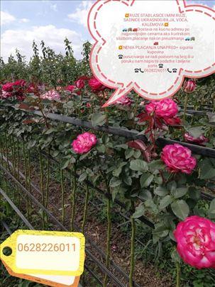Na prodaju sadnice ruža stablašica i mini ruža