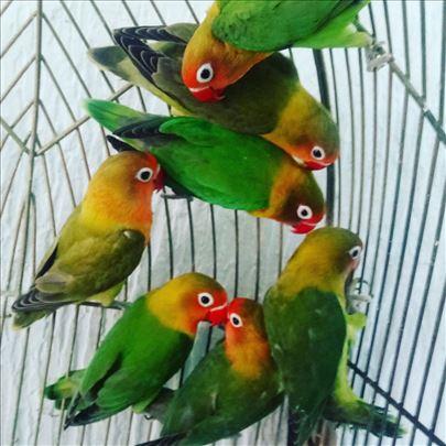 Fisheri papagaji
