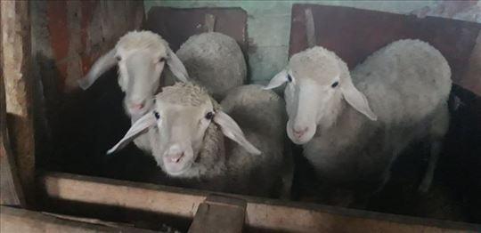 Prodajem ovce, godinu dana stare!