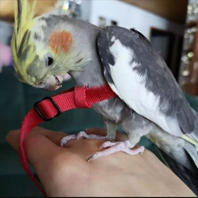 HIT! Povodac za papagaje