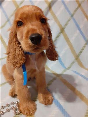 Koker španijel, štene
