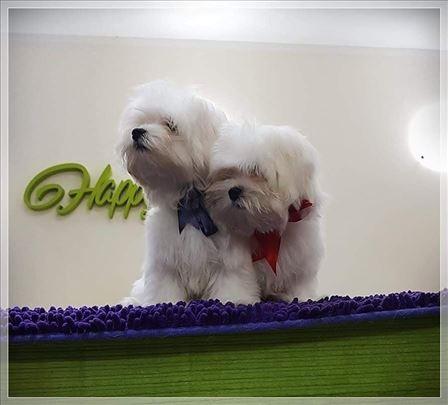 Maltezer, štenci šampionskog porekla