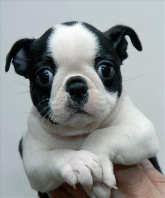 Bostonski terijer, štene