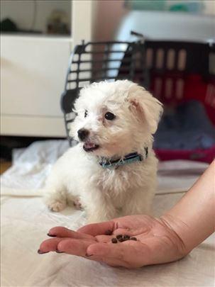 Bolonjski pas, štene
