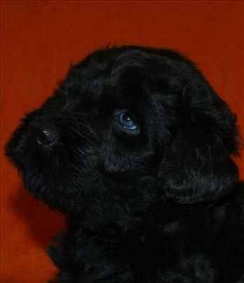 Crni ruski terijer, štenci na prodaju