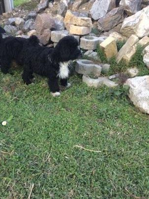 Tibetski terijer, štenci
