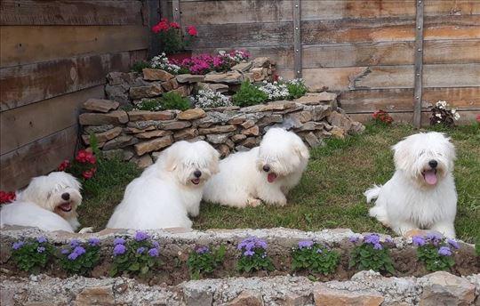 Tulearski pas, štene