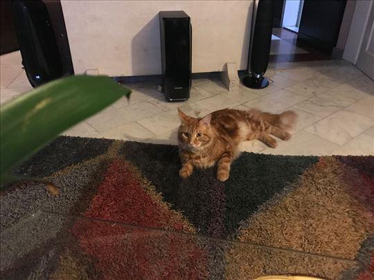 Maine Coon , mlada mačka