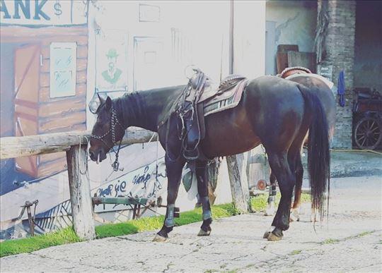 Na prodaju pastuv rase Quarterhorse