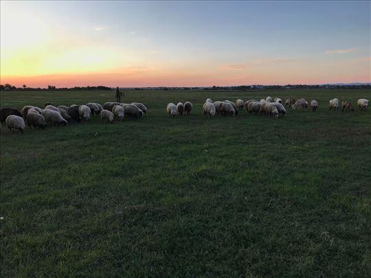 Prodajem ovce