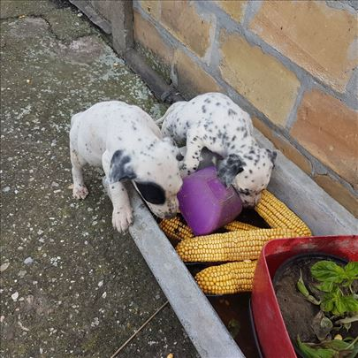 Dalmatinski pas , štene