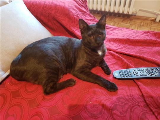 Evropska mlada mačka Mara se poklanja
