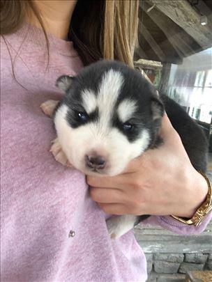 Sibirski haski , štene
