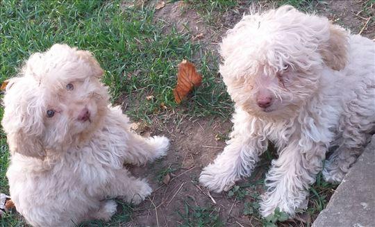 Lagoto romanjolo, štene