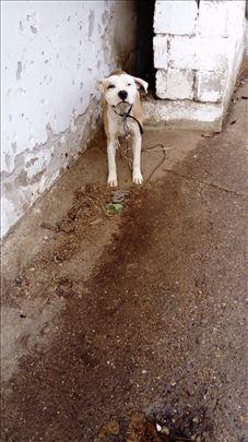 Stafordski bul terijer , mlad pas