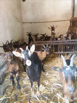 Hitno prodaja stado umatičenih koza