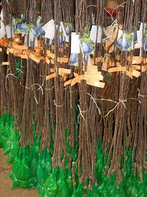 Sadnice šljive