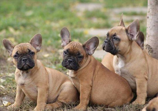 Francuski buldog, štenci stari 2 meseca