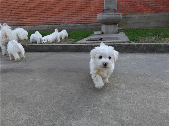 Kovrdžavi bišon, čistokrvni štenci