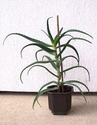Kaktus aloja vera