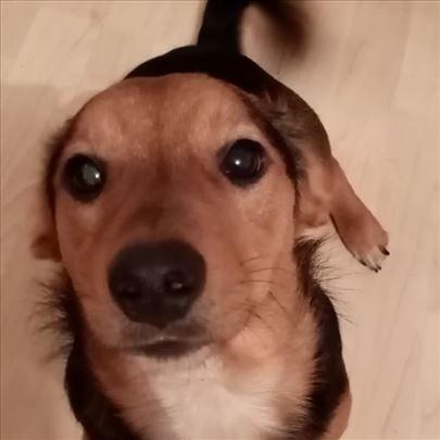 Mešanac, štene