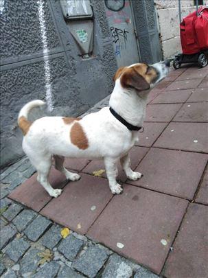 Pronadjen pas u centru Bg-a, Dzek Rasel