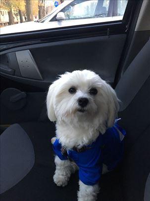 Maltezer, odrastao pas za parenje