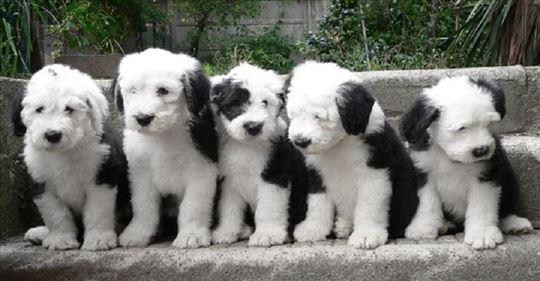 Bobteil , štenci na prodaju