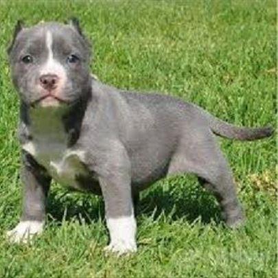 Pit bul terijer, štenci na prodaju