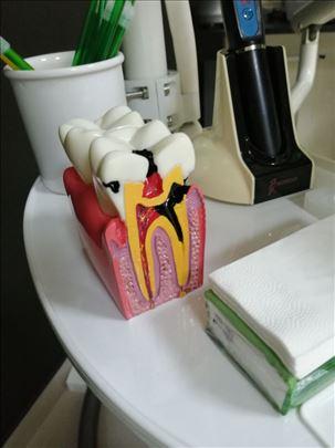 Model zuba za demonstraciju