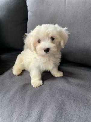 Maltezer, štenci