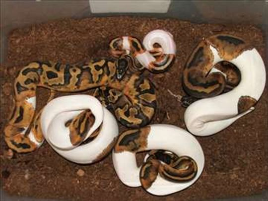 Snakes and lizards from domestic rearing