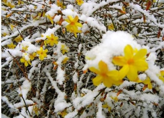 Zimski jasmin-jasminum nudiflorum